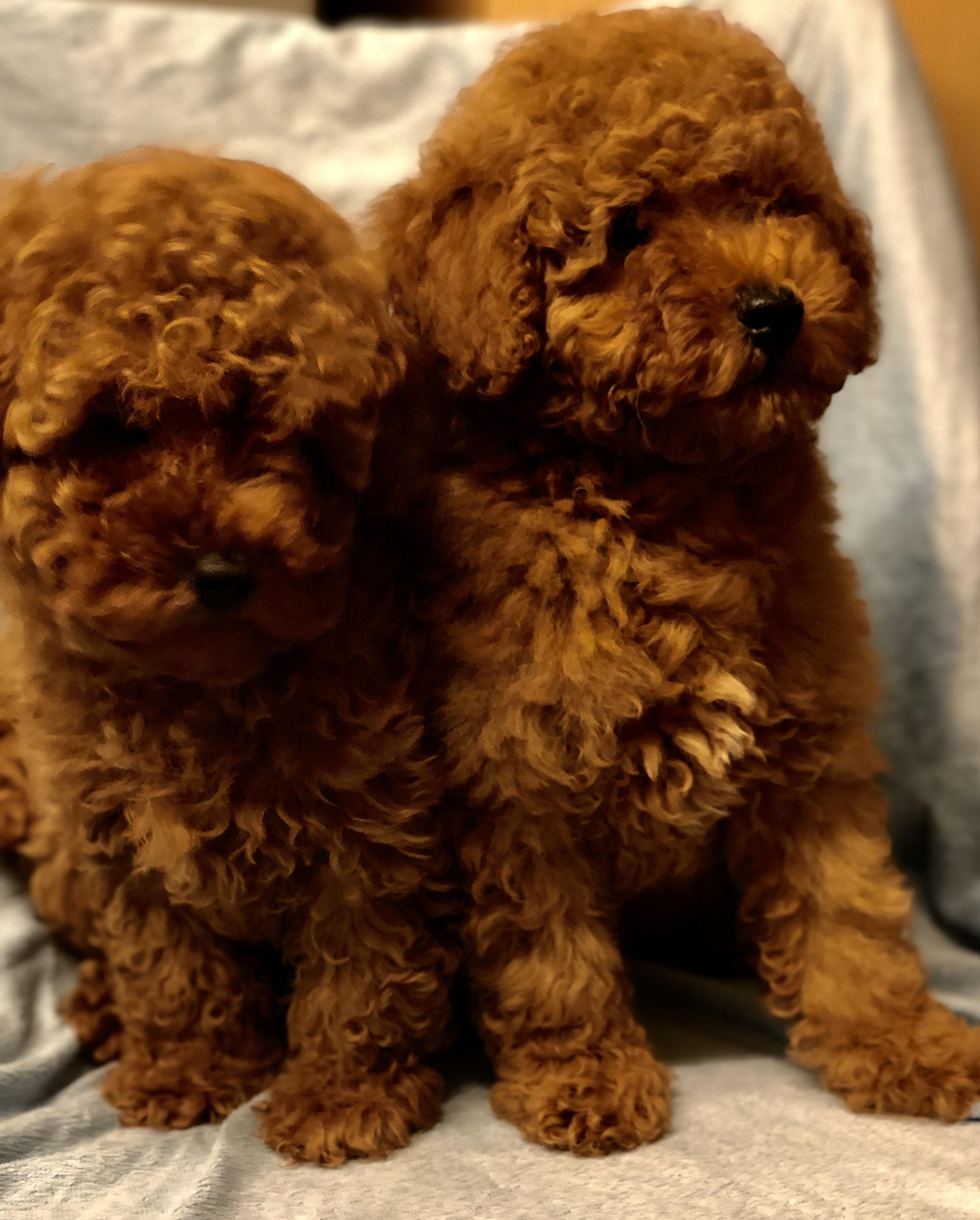 Distinctive red Toy poodle puppies from Health tested clear