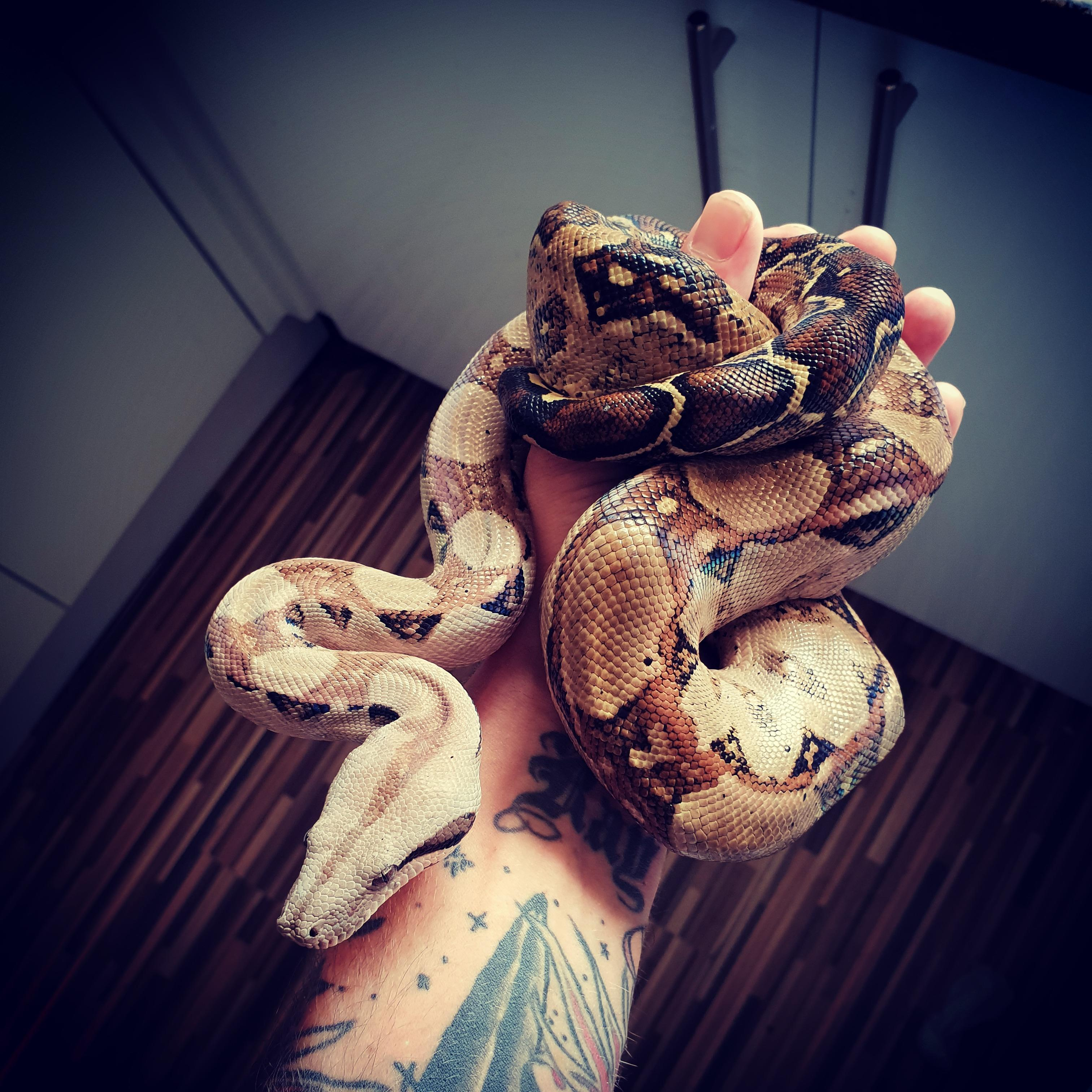 2x royal pythons and 2x boa constrictors all with their own
