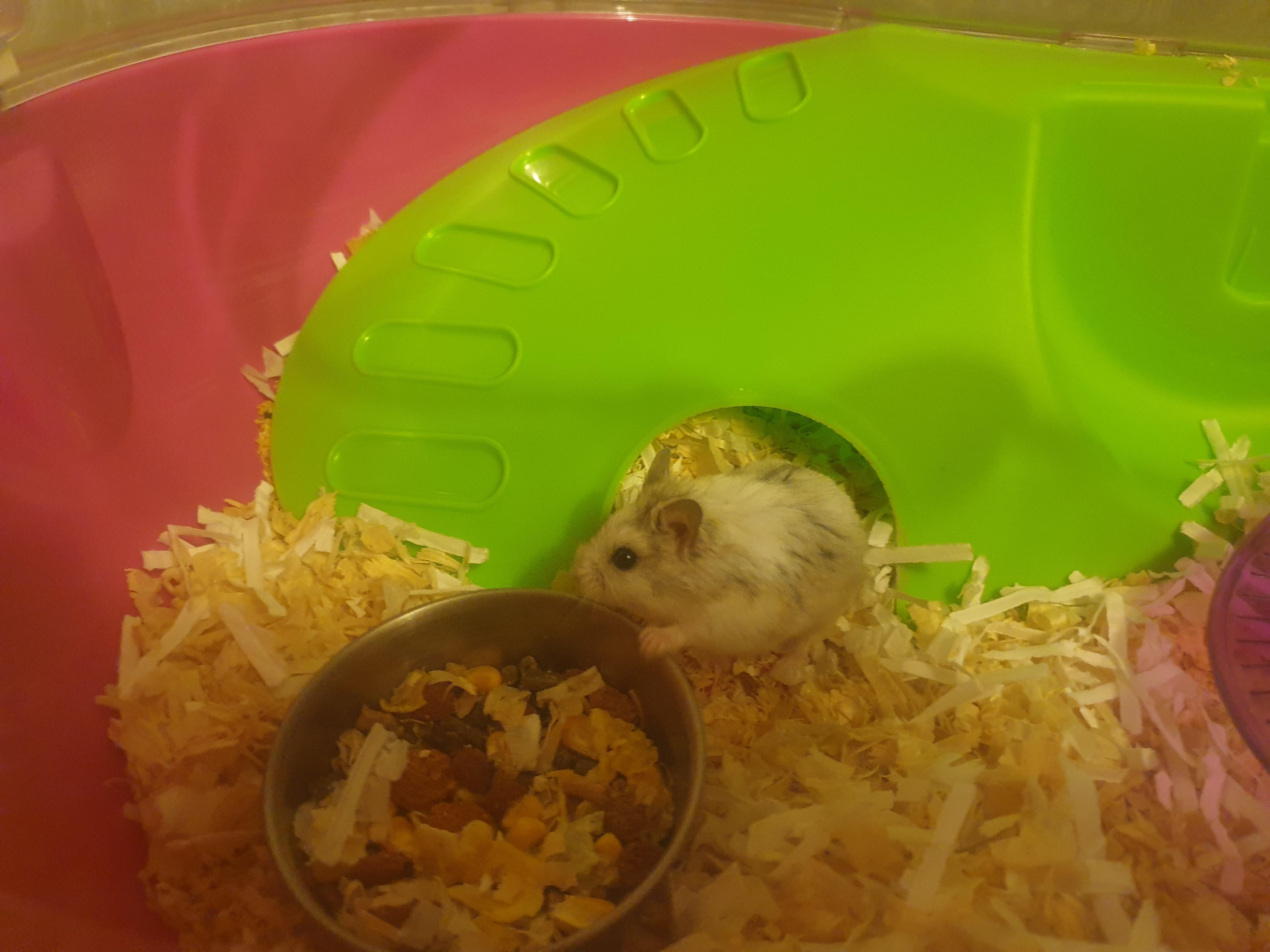 Small Male hamster looking for a good home.