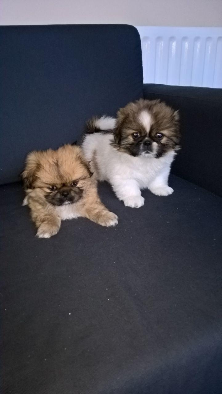 2 lovely female Pekingese puppies for sale in littlehampton
