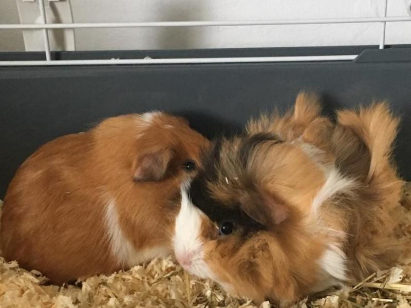 2 bonded male guinea pigs