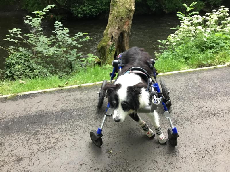 Dog two or four wheelchair