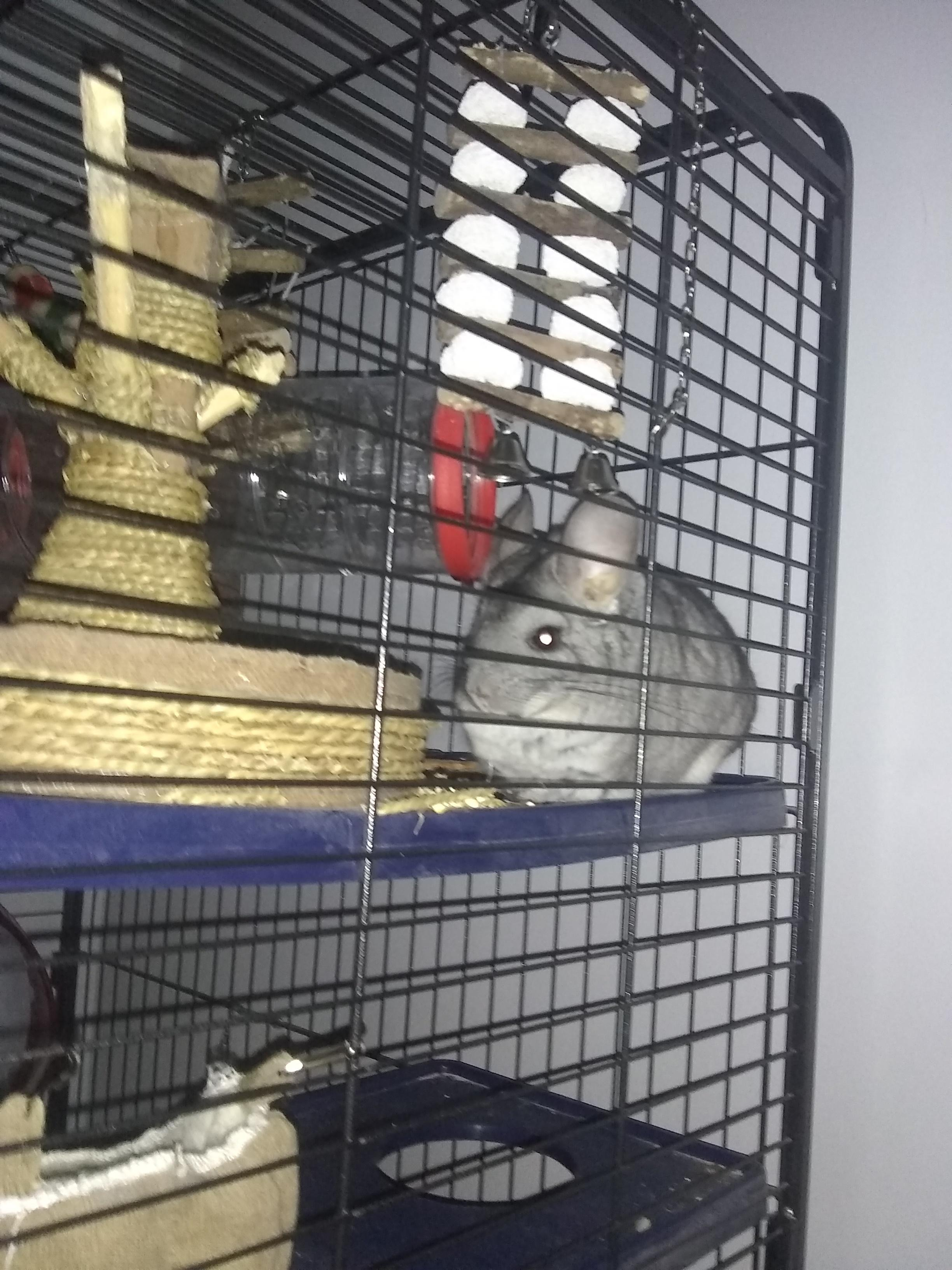 5 year old male chinchilla for sale