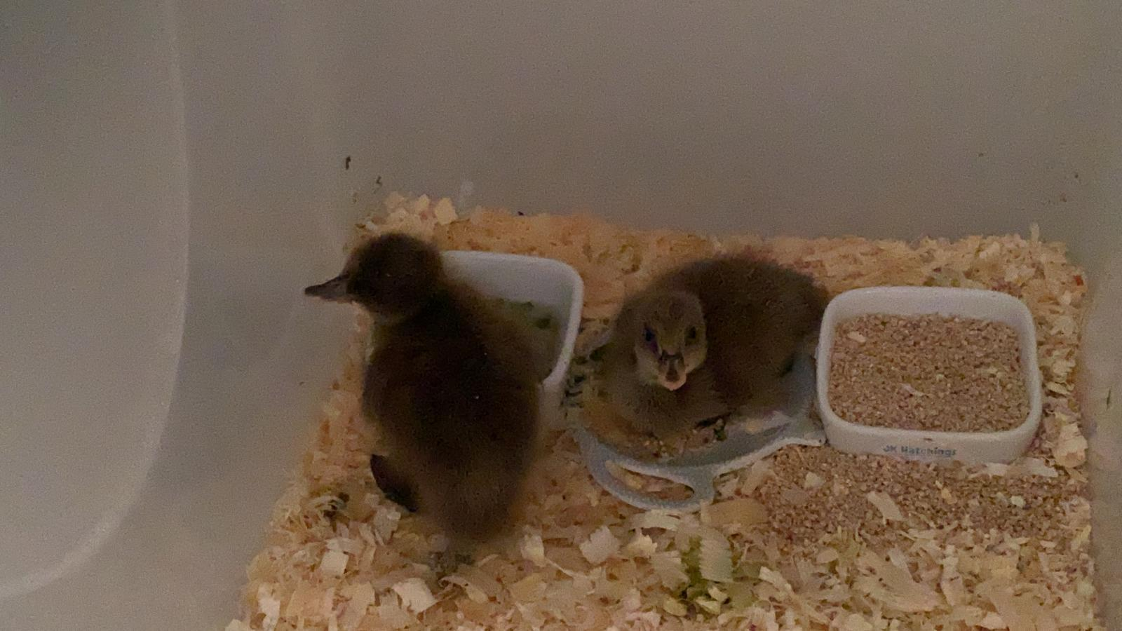 Beautiful 3 day old ducklings ready to go to their new