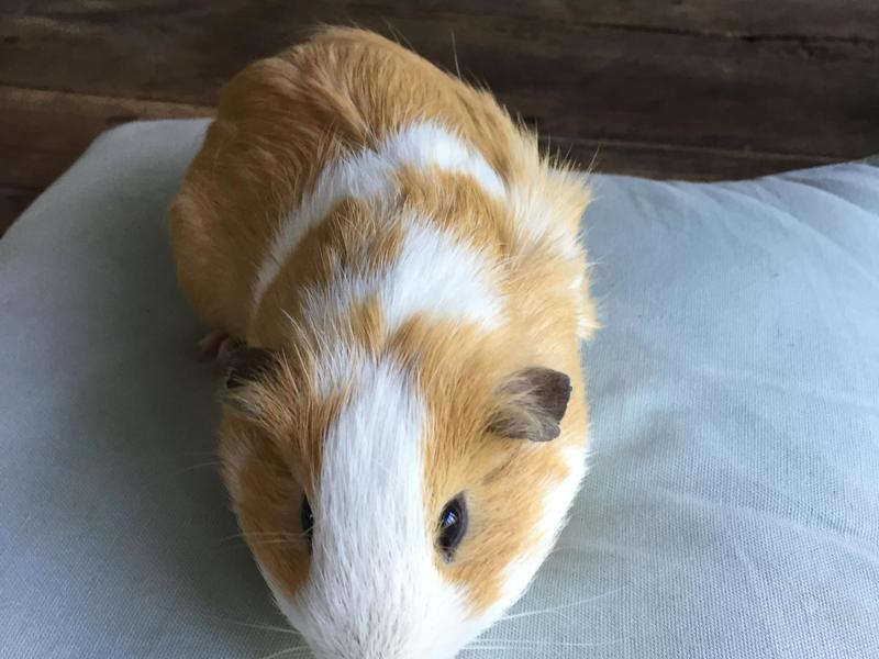 Cute guinea pig for sale