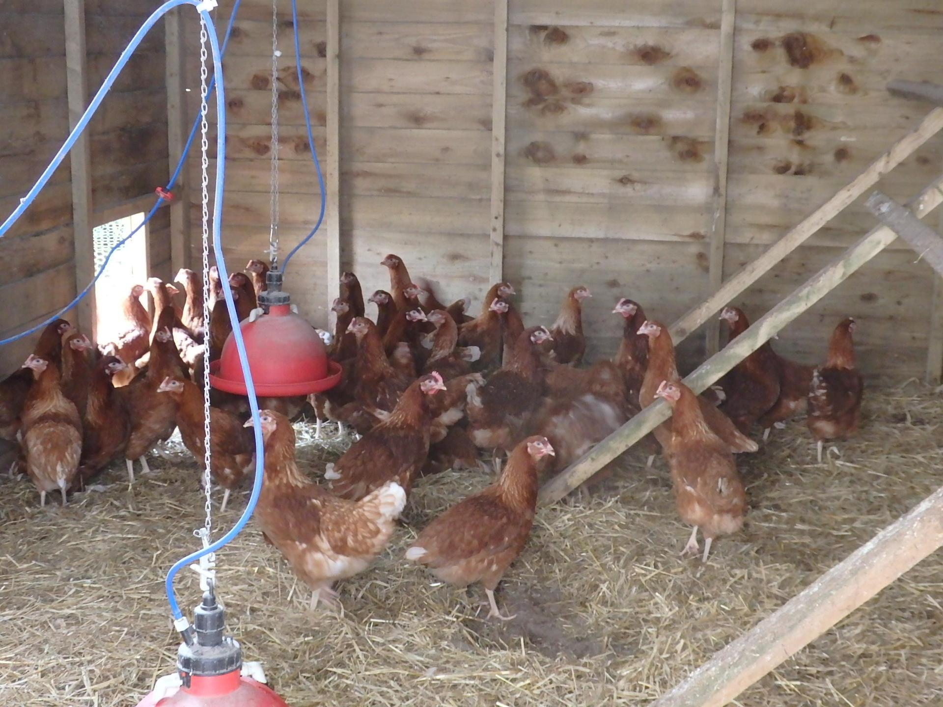 Warren Chicken hens Point of lay