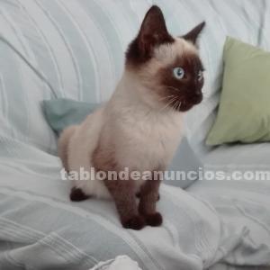 Gatito siames
