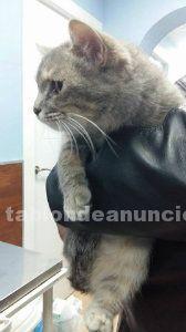 Clara preciosa gata en adopcion madrid toledo