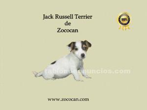 Jack russell,bicolor y tricolor,en murcia