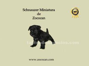 Schnauzer miniatura, negros de calidad