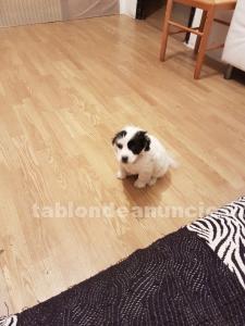 Perrito raza pequeña