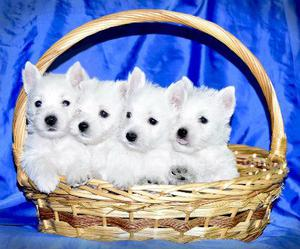 Cachorros de westy con excelente pedigree