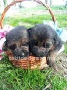 Vendo cachorros de pastor aleman
