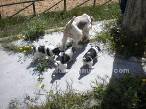 Camada de cachorros fox terrier