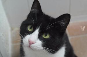 DEXTER gatito 1,5 años adopción