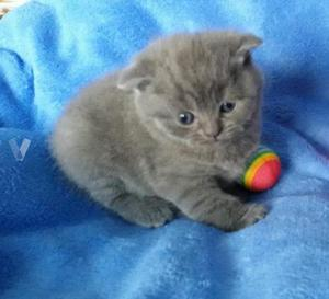 Lindos british shorthair