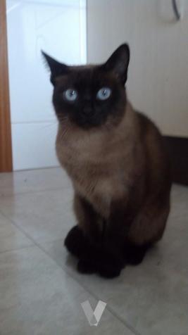 gatitos Persa con Siames