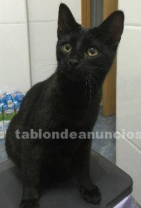 Melendi, gatito negro de 5 meses, en adopcion