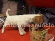 Jack russel terrier por regalo