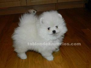 Regalo cachorros de pomerania toy