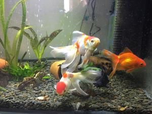 peces de agua fria posot class