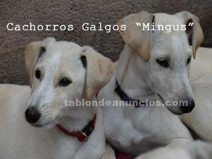 Cachorros galgos
