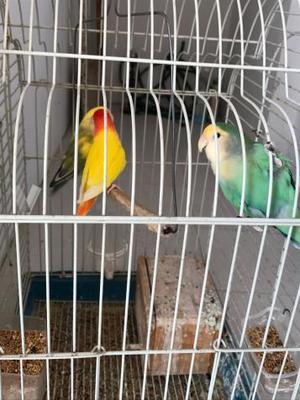 agapornis,inseparables tres con su jaula y nido