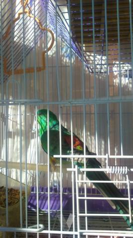 canbio pareja de rabadilla por pareja de canarios