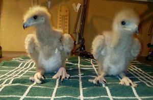 disponible para reservar Águilas de harris
