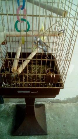 pareja de ninfas con jaula incluida