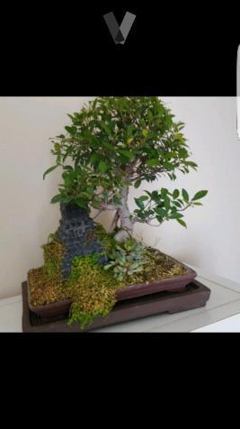 Bonsai peter chan libro en ingles posot class - Libros de bonsais ...