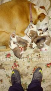 Cachorros american stanfor