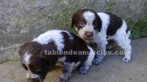 Vendo cachorro hembra de spaniel breton