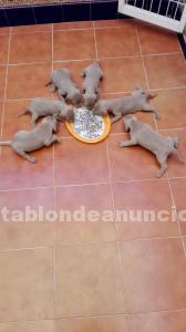 Cachorros de braco de weimar