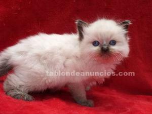Ragdoll gatitos
