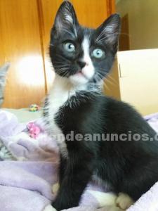 Gato en adopcion (cachorro)- orion