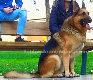 Se regalan cachorros de padre pastor alemán y madre husky