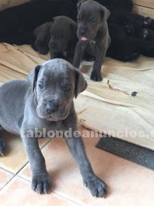 Se vende cachorros de dogo alemán