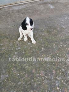 Se vende precioso cachorro de setter inglés