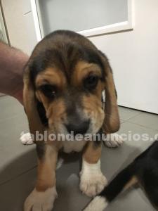 Cachorros beagle en madrid