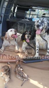 Cachorros setter ingles especial becada