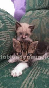 Dos gatitos, siames y gris, machitos en adopcion responsable