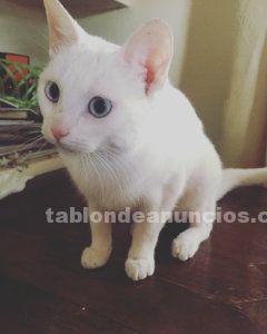 Gata blanca de ojos azules, en adopción
