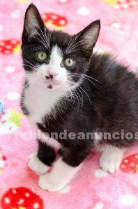 Gatito blanco y negro en adopción