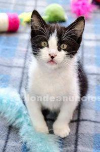 Gatito blanquinegro cachorrito en adopcion