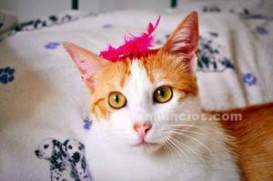 Gato blanco y naranja dulzón en adopcion