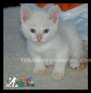 Rasguño, gatito 1 mes en adopción