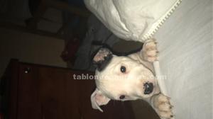 Se vende precioso cachorro de american stanford