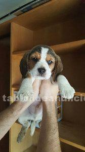 Vendo cachorro de beagle 200€