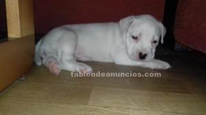 Vendo pibull red nose hembra preciosa